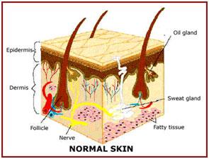 alopecia skin diagram alopecia areata:homeopathic treatment for alopecia areata ...